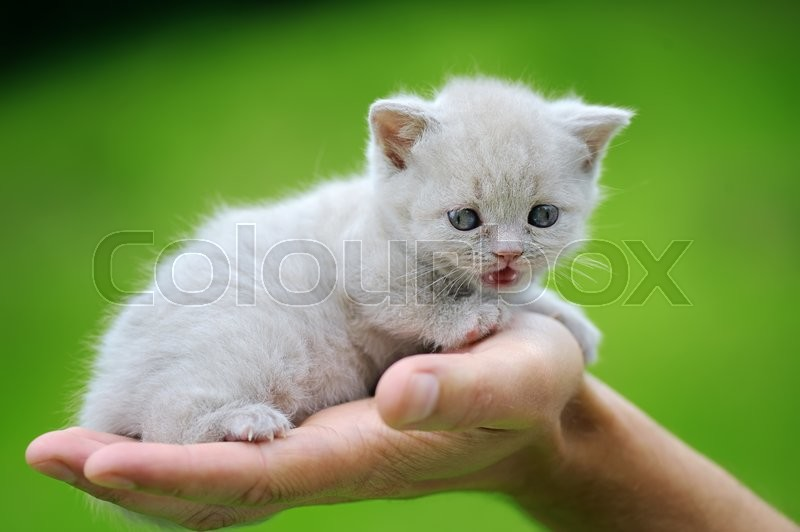 Stock image of 'Close funny little gray kitten in hand on nature'