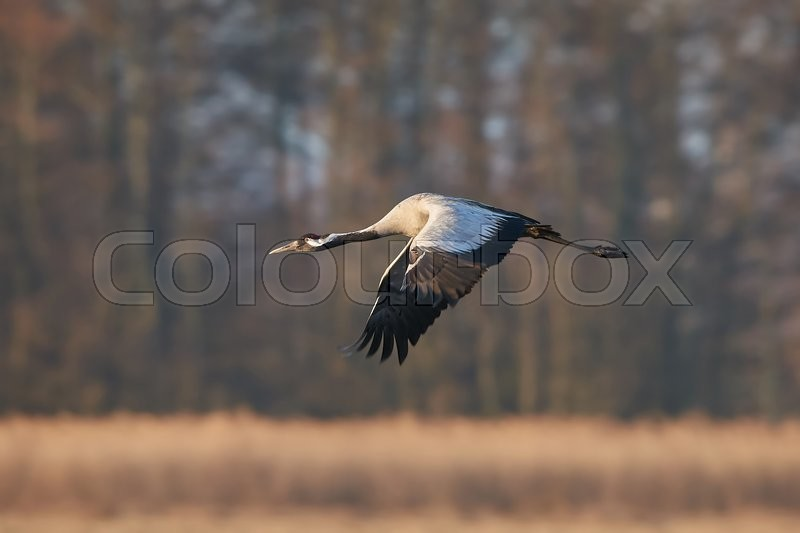 Stock image of 'Common crane in flight with vegetation and trees in the background'