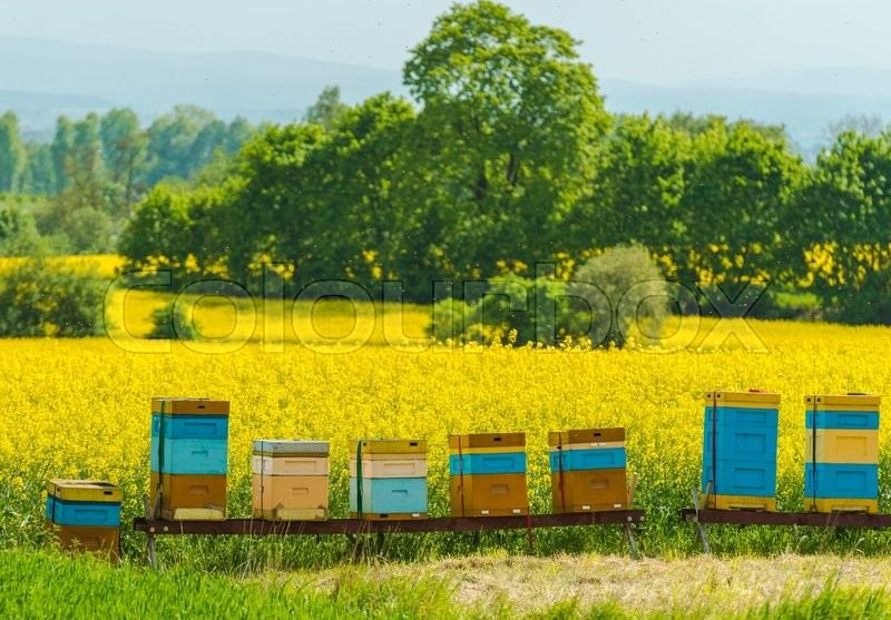 Stock image of 'Colorful Wooden Apiaries and the Rapeseed Fields in Malopolska Region, Poland, Europe. '