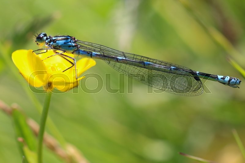 Stock foto af 'macro photo of Enallagma cyathigerum common blue damselfly, common bluet.'