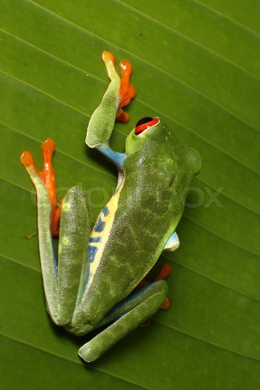Stock foto af 'Wildlife Macro photo af red-eyed tree frog from night walk in the jungle in Arenal, Costa Rica'