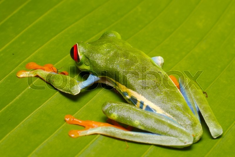 Stock image of 'callidryas, rainforests, central'