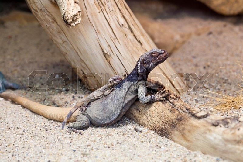 Stock image of 'Lizard'