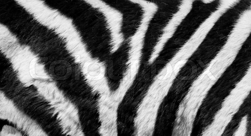 Zebra background Type of striped African animal which resembles a