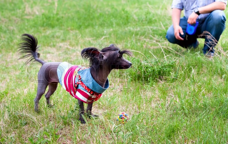 Stock image of 'Chinese crested dog is standing on grass'