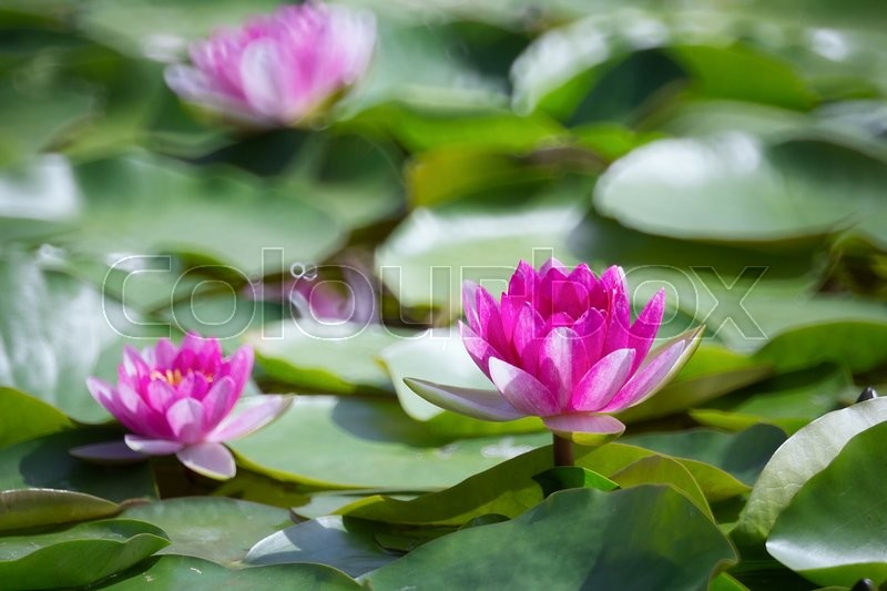 Stock image of 'Pink water lilies in lake'