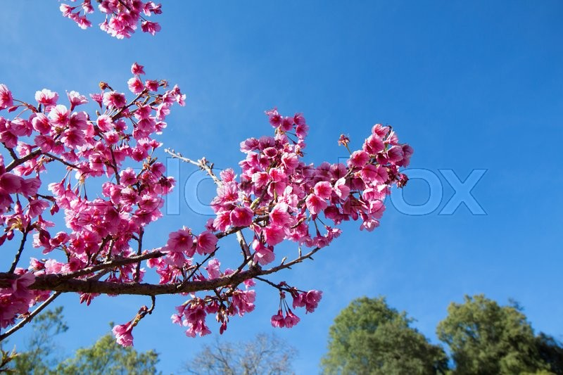 Stock image of 'Wild Himalayan Cherry, soft focus and blurred background'