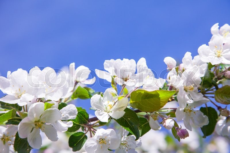 Stock image of 'Blossom apple tree'