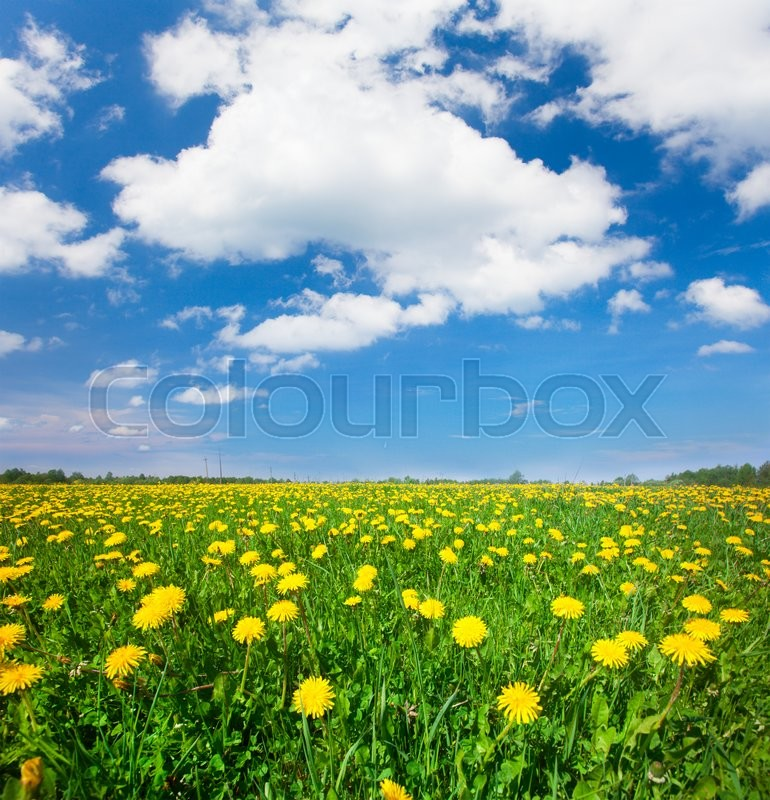 Stock image of 'Yellow flowers field under blue cloudy sky'