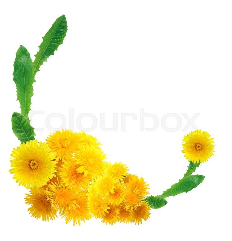 Stock image of 'Nice border made from yellow dandelion flowers on white background'
