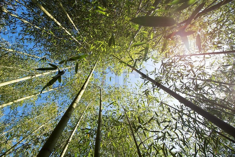 Stock image of 'bamboo forest and blue sky'