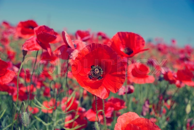 Stock image of 'Field of bright red poppy flowers in summer'
