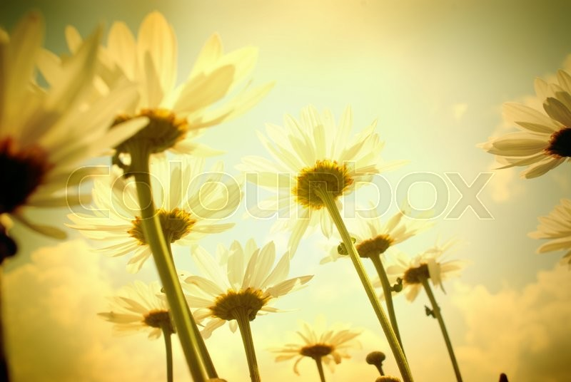 Stock image of 'Summer field with white daisies on sky'