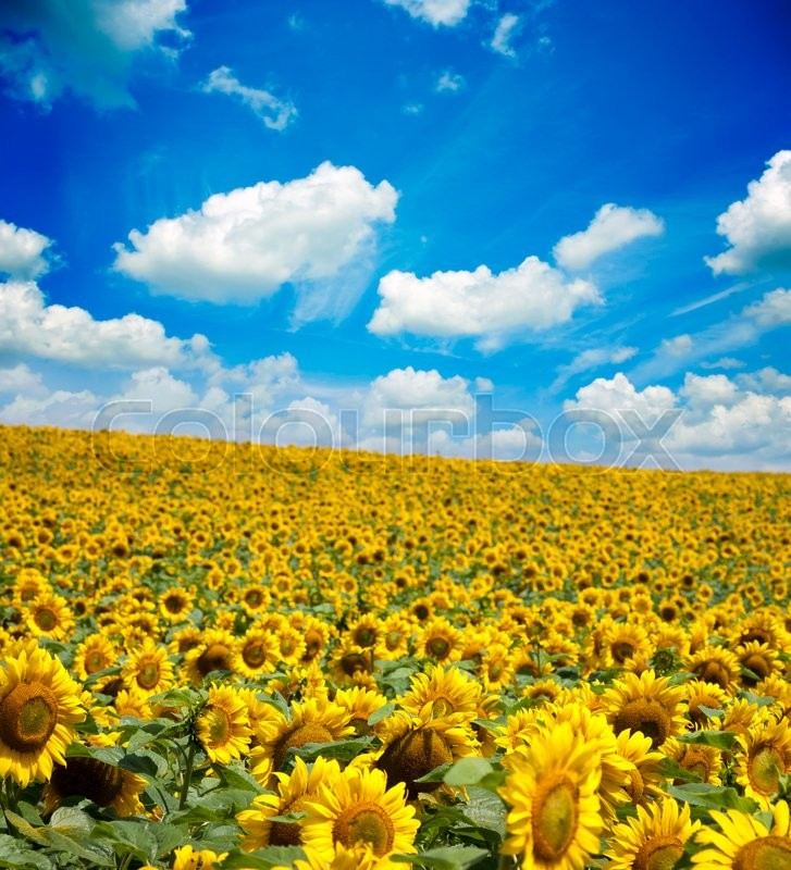 Stock image of 'Beautiful landscape with sunflower field cloudy blue sky'