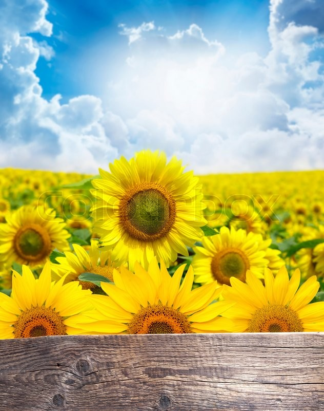 Stock image of 'Field of flowers of sunflowers. Wooden background for text. '