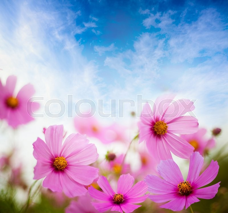 Stock image of 'Flower field and blue sky'