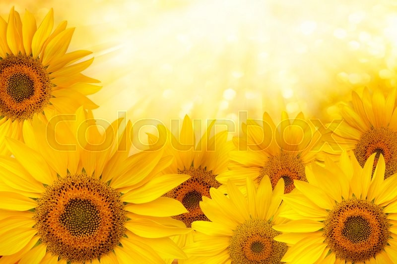 Stock image of ' Background made of  yellow sunflowers.Sunflower natural background'