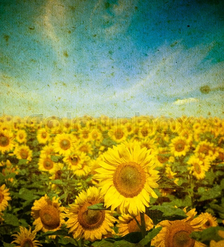 Stock image of 'Field of sunflowers on a grunge background'