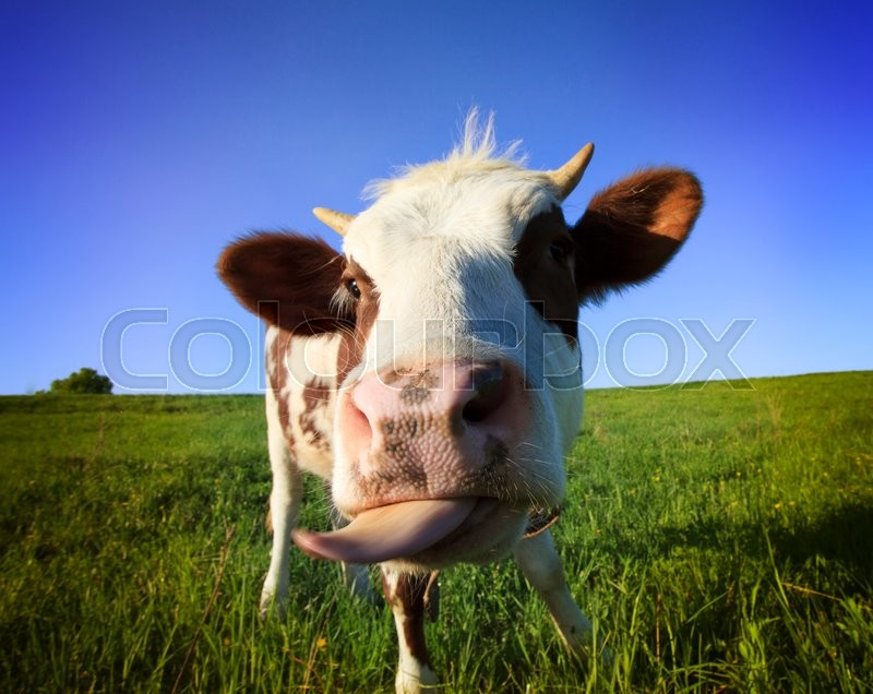 Stock image of 'Brown  cow in the field looking at you'