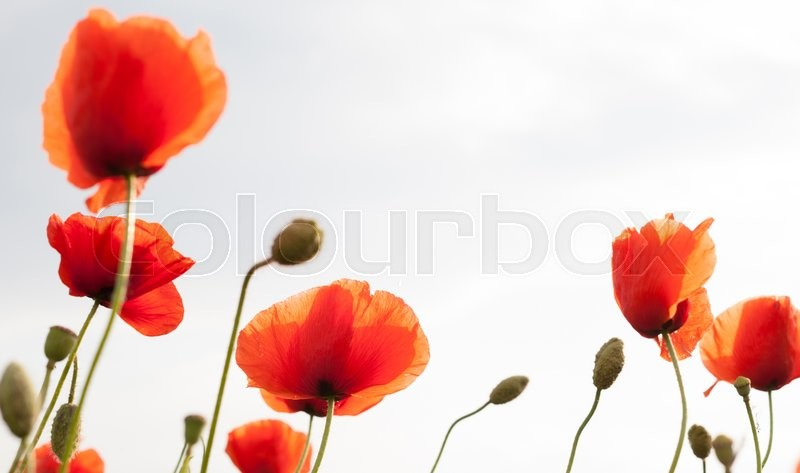 Stock image of 'Red poppy  on white background'