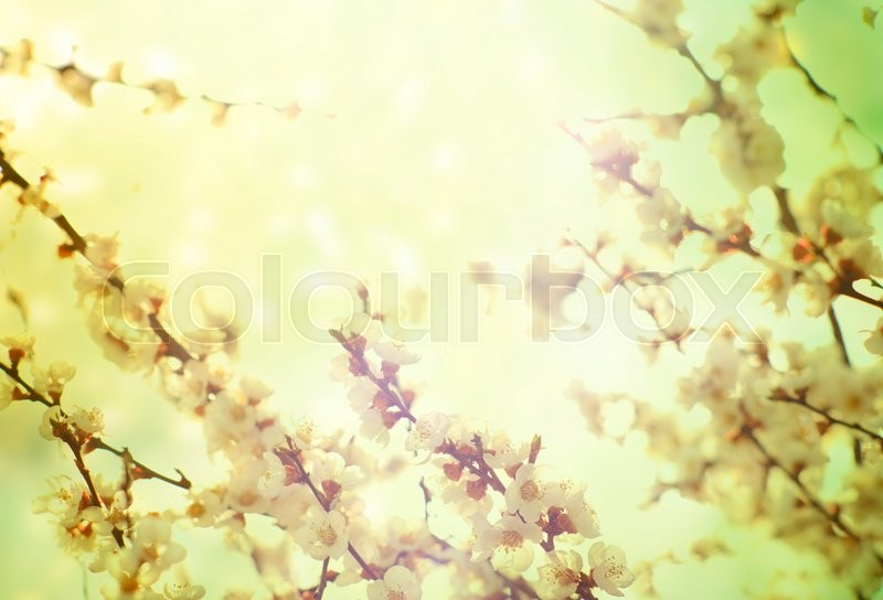 Stock image of 'Pastel tones. Flowers of the cherry blossoms on a spring day'