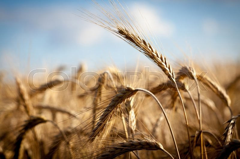Stock image of 'Golden ears of wheat on the field'