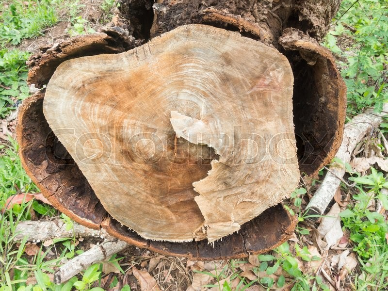 Stock image of 'Top view of a fresh tree stump from felled maple in a forest close-up with shallow depth of field and selective focus.Stump of tree felled, section of the trunk with annual rings.'