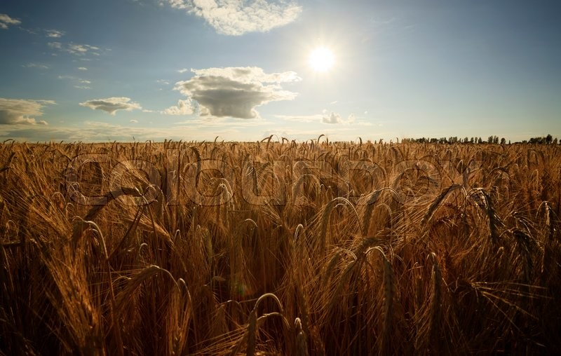 Stock image of 'Wheat field on the background of the setting sun'