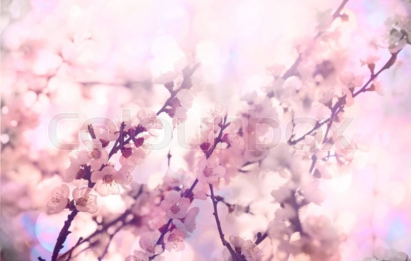 Stock image of 'Flowers of the cherry blossoms on a spring day'
