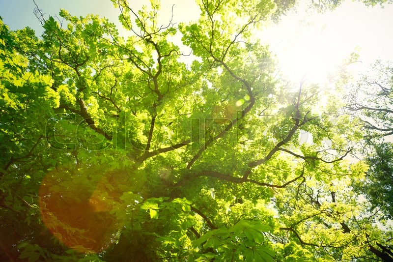 Stock image of 'Forest trees. Sun and leaves'