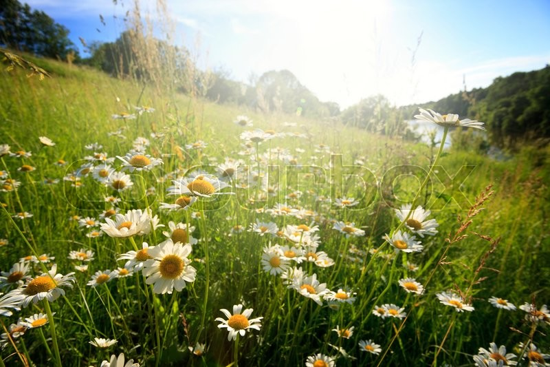 Stock image of 'Field of spring flowers and sunny day'