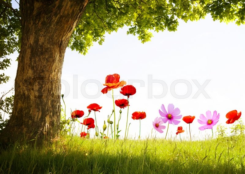 Stock image of ' landscape with poppy flowers and single tree'