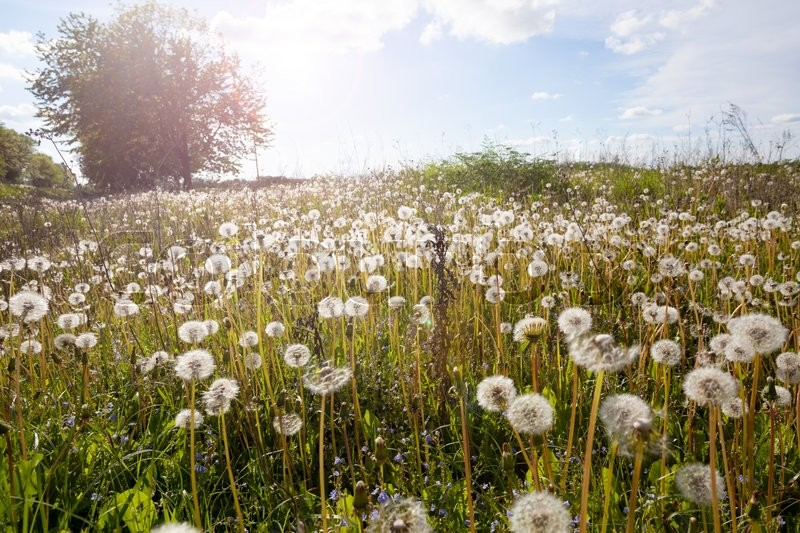 Stock image of 'spring landscape with white dandelions. '
