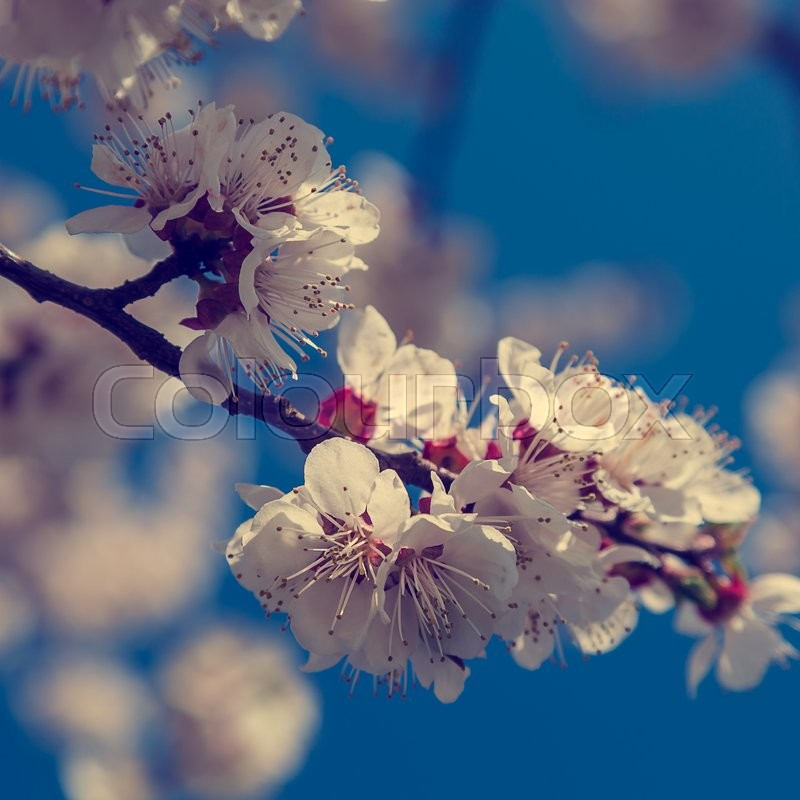 Stock image of 'Flowering cherry on a background of blue sky on a sunny day.'