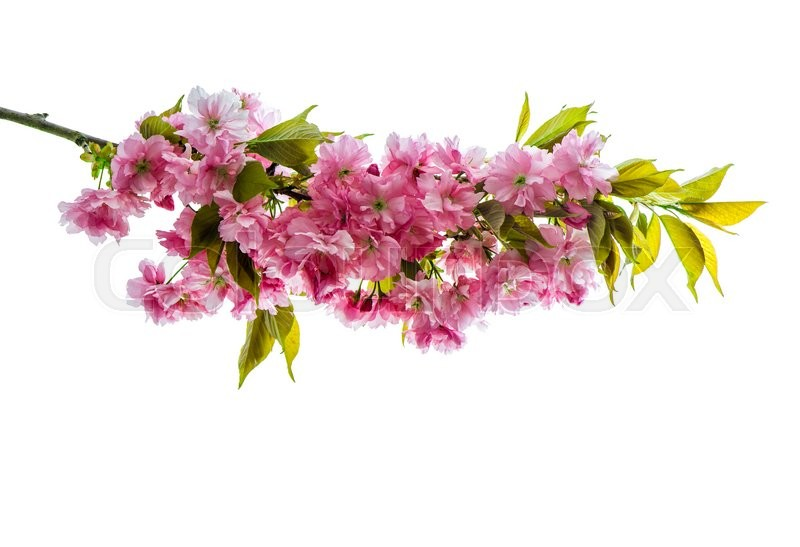 Stock image of 'Cherry tree twig. Fresh spring sakura flowers with green leaves over white background'