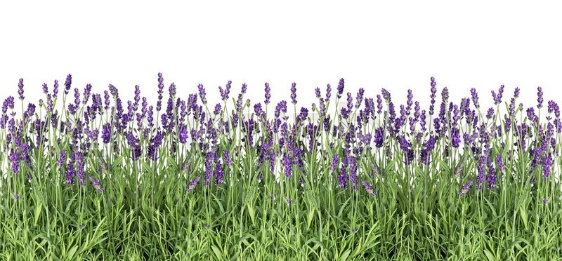 Stock image of 'Lavender flowers. Fresh lavender plants isolated on white background'