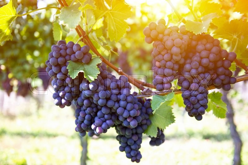 Stock image of 'Red grapes with green leaves on the vine. Vine grape fruit plants outdoors by sunset'