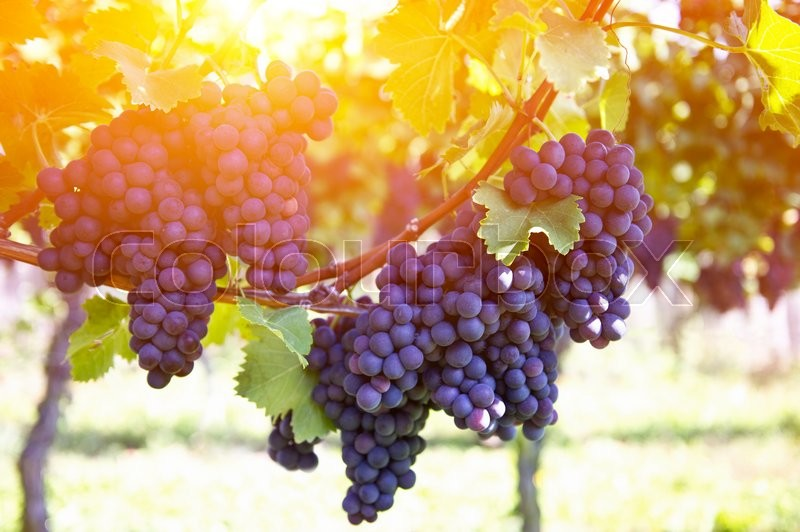 Stock image of 'Red grapes on the vine. Vine grape fruit plants outdoors by sunset'