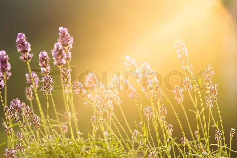 Stock image of 'Sunset over a violet lavender field in Provence, France. Lavandula flowers over sunset sky. Provence landscape closeup.'