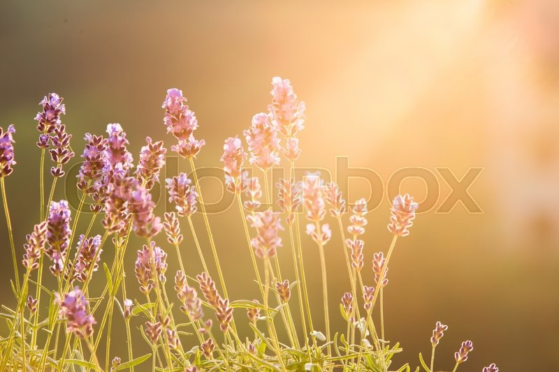 Stock image of 'Sunset over a violet lavender field in Provence, France. Lavandula flowers over sunset rays. Provence landscape closeup.'