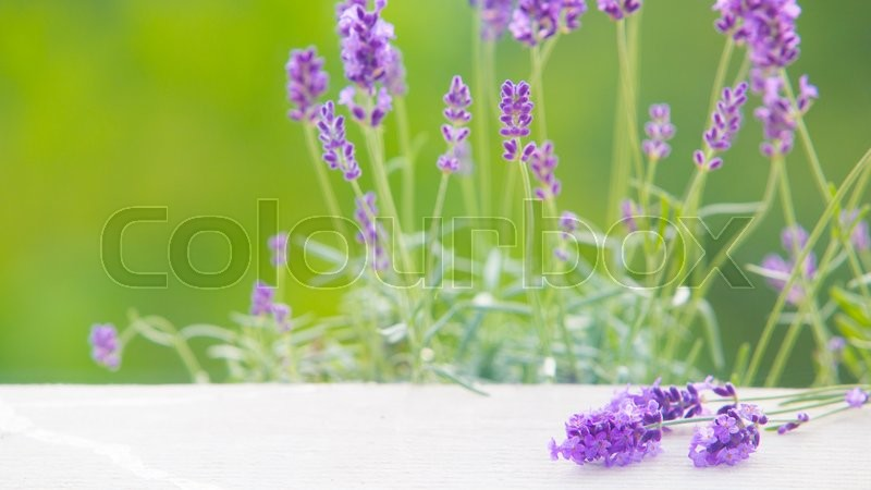 Stock image of 'Lavender bushes closeup on table. White desk of table through flowers of lavender. Provence region of france.'