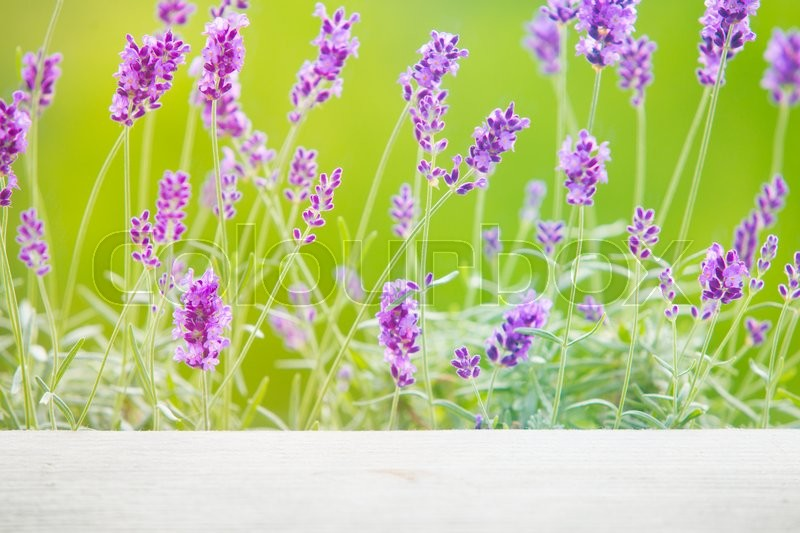 Stock image of 'Lavandula flowers over green grass field. Provence landscape closeup.'