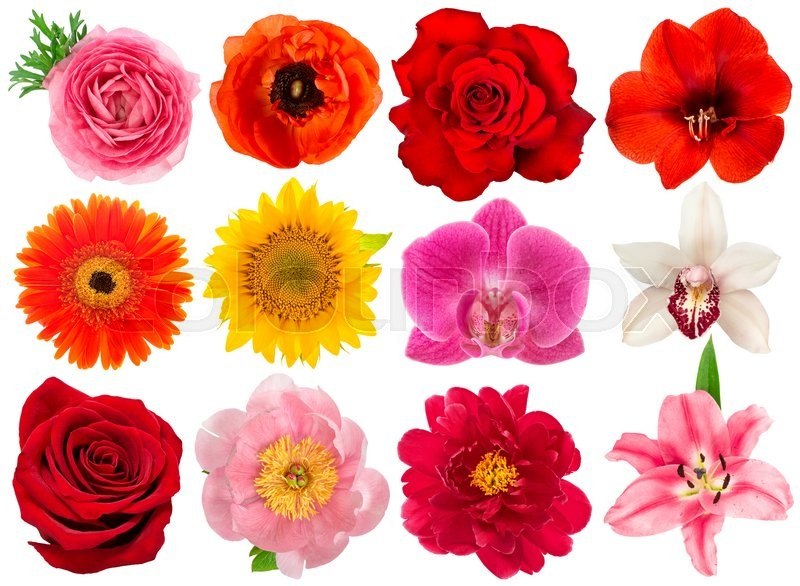 Stock image of 'Single flower head. Rose, orchid, peony, sunflower, amaryllis, gerber, ranunculus, anemone isolated on white background'