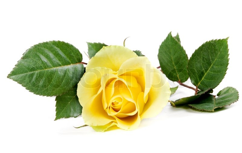 frische gelbe rosen auf wei em hintergrund stockfoto colourbox. Black Bedroom Furniture Sets. Home Design Ideas