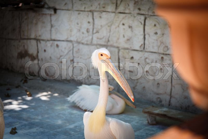 Stock image of 'White and pink pelican portrait with head and beak in park'