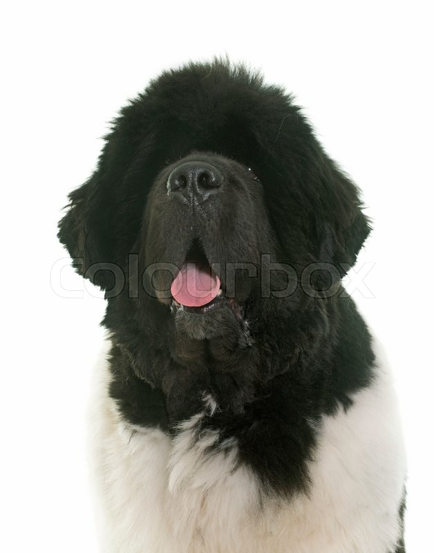 Stock image of 'black and white newfoundland dog in front of white background'