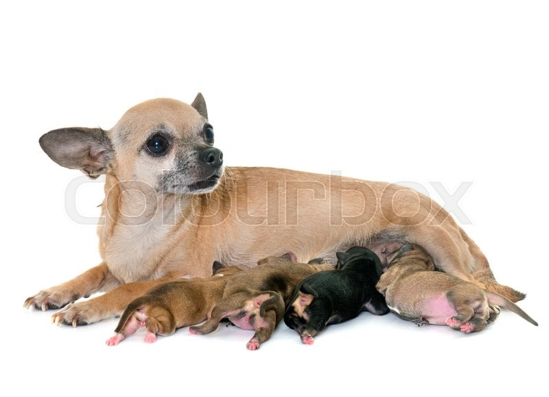 Stock image of 'family of chihuahua in front of white background'