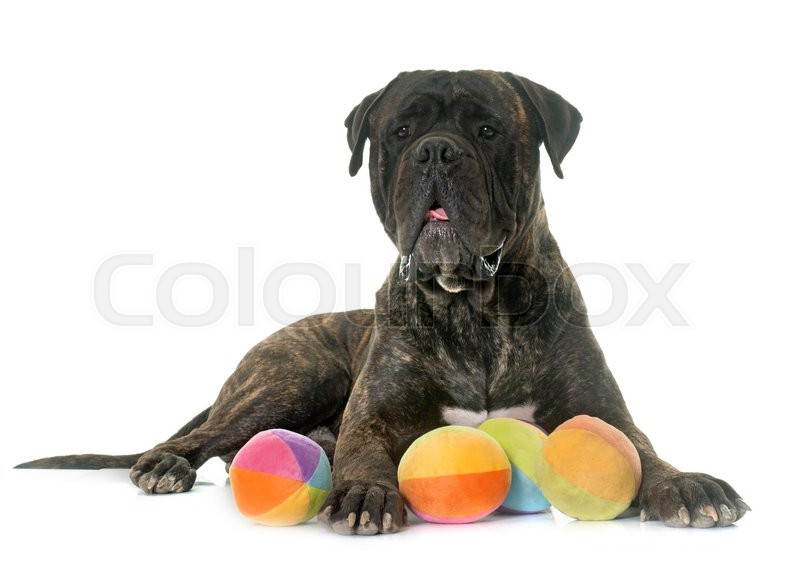 Stock image of 'bull mastiff in front of white background'