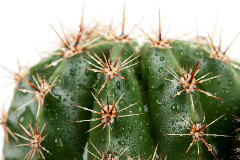 Cactus with spines in the Rozsa drops isolated on white background ...