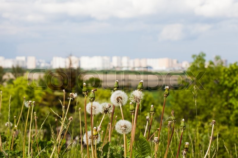 Stock image of 'lowers dandelions on background of the houses of the big city'